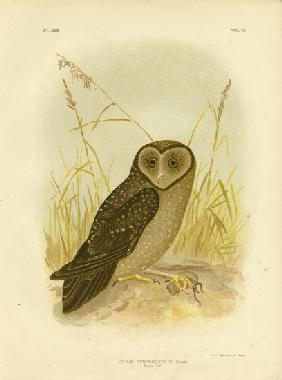 Sooty Owl 1891