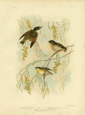 Spotted Diamondbird Or Spotted Pardalote 1891