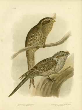Tawny-Shouldered Podargus Or Tawny Frogmouth 1891