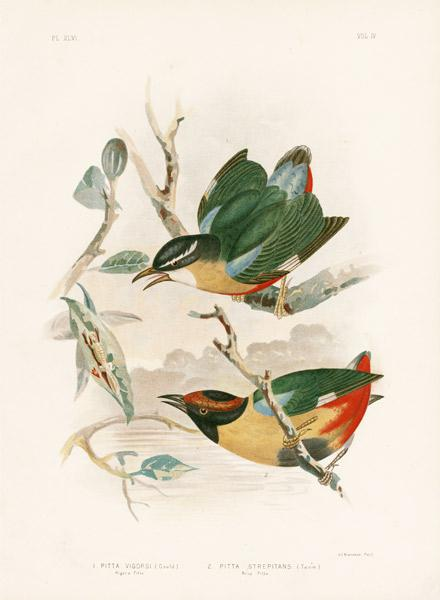 Vigor'S Pitta Or Elegant Pitta 1891