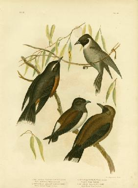 White-Eyebrowed Wood Swallow 1891