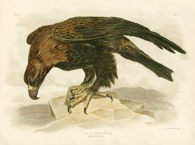 Wedge-Tailed Eagle 1891
