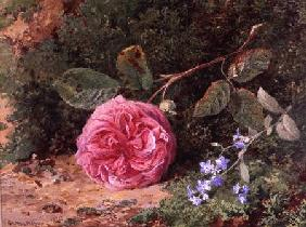 Pink Rose on a Mossy Bank 1875  on