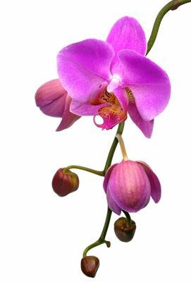 Orchidee ingrid koch als kunstdruck oder handgemaltes gem lde - Wandfarbe orchidee ...