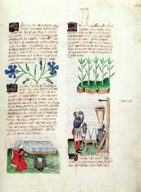 Ms Lat 993 L.9.28 Fol.142r Cornflowers, making pancakes, sugar cane and making sugar syrup, from 'Tr 1833