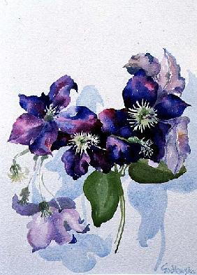 Clematis, 1998 (w/c on paper)