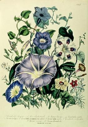 Bindweed, plate 26 from ''The Ladies'' Flower Garden'', published 1842
