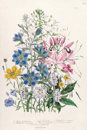 Cornflower, plate 15 from 'The Ladies' Flower Garden' published