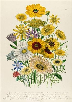 Daisies, plate 31 from ''The Ladies'' Flower Garden'', published 1842