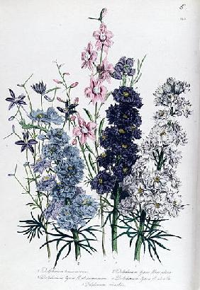 Delphiniums, plate 3 from ''The Ladies'' Flower Garden'', published 1842