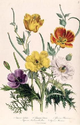 Poppies and Anemones, plate 5 from ''The Ladies'' Flower Garden'', published 1842