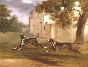 The Earl of Brownlow's two Bull Terriers, 'Nelson' and 'Argo' 1831