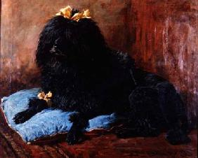 A Black Standard Poodle on a blue cushion 1895
