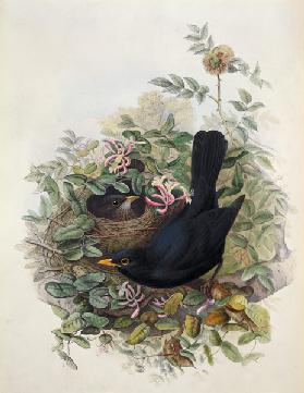 Blackbird, 1873 (pencil, w/c on
