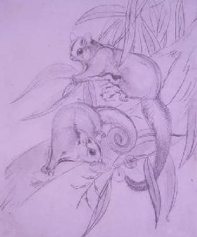 Gliding Possums (pencil)