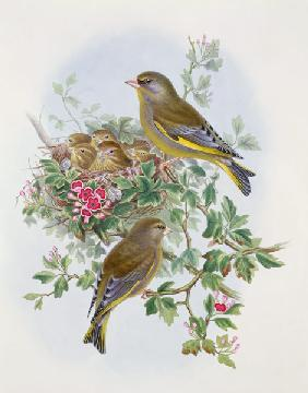 Greenfinch 1873