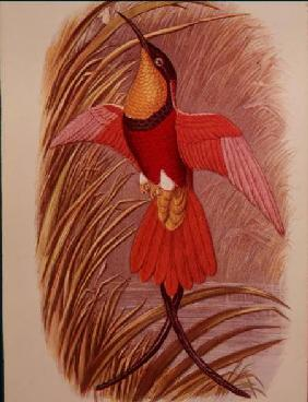 Humming Bird: Crimson Topaz, plate 23 from 'Cassell's Book of Birds'