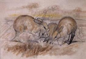 Pig-Footed Bandicoot (pencil and chalk)