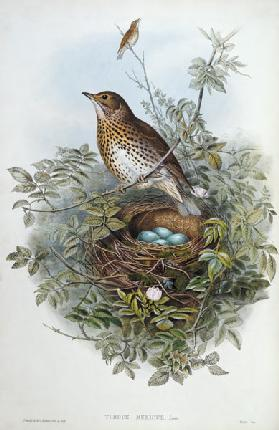 Thrush, 1873 (w/c, pencil on