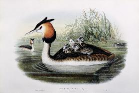 Great Crested Grebe (Podiceps Cristatus)  1908