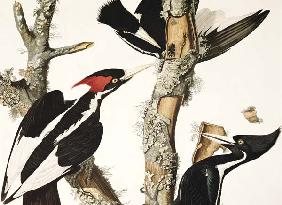 Kunstdruck von John James Audubon - Ivory-billed Woodpecker, from 'Birds of America', engraved by Robert Havell (1793-1878) 1829 (colour