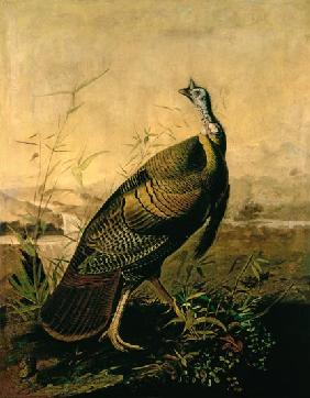 Kunstdruck von John James Audubon - The American Wild Turkey Cock