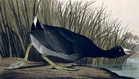 Kunstdruck von John James Audubon - American Coot, from 'Birds of America', 1835 (coloured engraving)