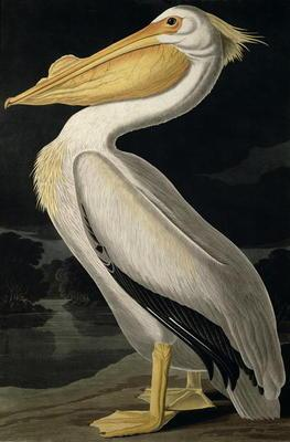 Kunstdruck von John James Audubon - American White Pelican, from 'Birds of America', engraved by Robert Havell (1793-1878) published 183