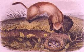 Kunstdruck von John James Audubon - Black-footed Ferret from Quadrupeds of North America (1842-5)