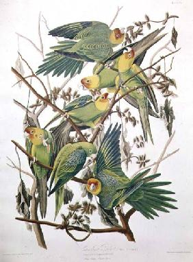 Kunstdruck von John James Audubon - Carolina Parakeet, from 'Birds of America'