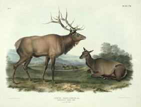 Kunstdruck von John James Audubon - Cervus Canadensis (American Elk, Wapiti Deer), plate 62 from 'Quadrupeds of North America', engraved
