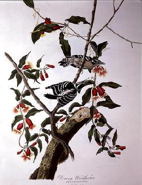 Kunstdruck von John James Audubon - Downy Woodpecker, from 'Birds of America', engraved by Robert Havell (1793-1878) (coloured engraving
