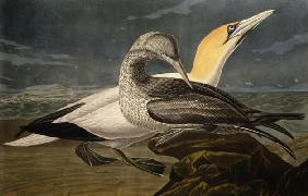 Kunstdruck von John James Audubon - Gannets, from 'Birds of America', engraved by Robert Havell (1793-1878) published 1836 (coloured eng