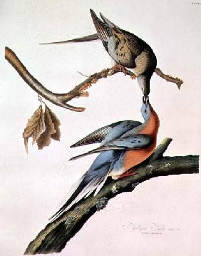 Kunstdruck von John James Audubon - Passenger Pigeon, from 'Birds of America'
