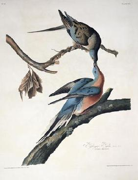 Kunstdruck von John James Audubon - Passenger Pigeon, from 'Birds of America', engraved by Robert Havell (1793-1878) published 1836 (col