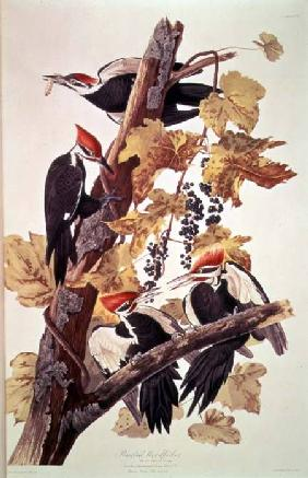 Kunstdruck von John James Audubon - Pileated Woodpeckers