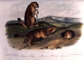 Kunstdruck von John James Audubon - Prairie Dog from 'Quadrupeds of North America', 1842-5