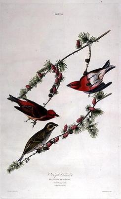 Kunstdruck von John James Audubon - Purple Finch, from 'Birds of America', engraved by William Home (1788-1859) (coloured engraving)