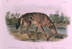 Kunstdruck von John James Audubon - Red Wolf from Quadrupeds of North America (1842-5)