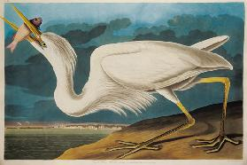 Great White Heron, from 'Birds of America', engraved by Robert Havell (1793-1878) 1835 (coloured eng 1849