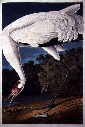 Kunstdruck von John James Audubon - Whooping Crane, from 'Birds of America'