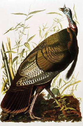Kunstdruck von John James Audubon - Wild Turkey, from 'Birds of America'