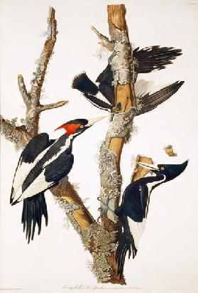 Ivory-billed Woodpecker, from ''Birds of America'', 1829 (see 195912 for detail)