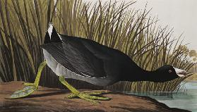American Coot, from 'Birds of America', 1835 (coloured engraving) 1835
