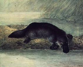 Duck-billed platypus, ornithorynchus paradoxus 1810