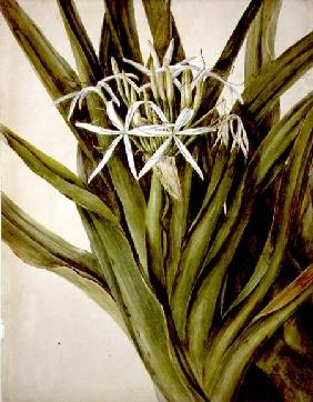 The Murray Lily, cirinum pedunculatum 1808