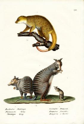 Banded Wallaby 1824