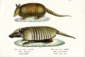 Different Kinds Of Armadillos 1824