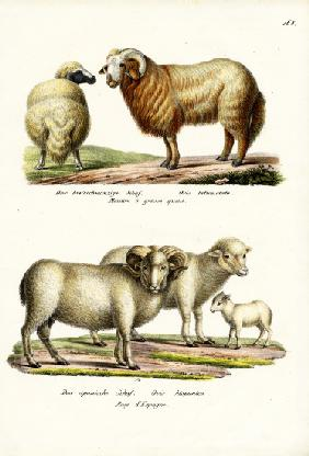 Fat-Tailed Sheep 1824