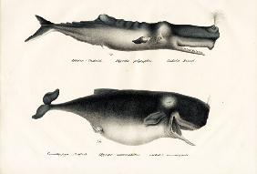 Sperm Whales 1824